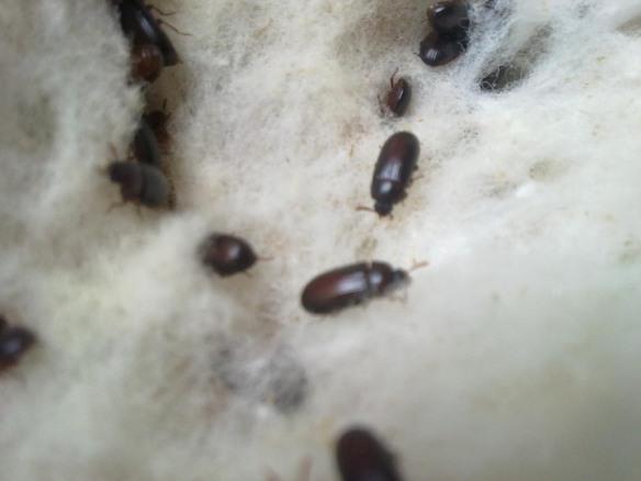 khasiat semut jepang